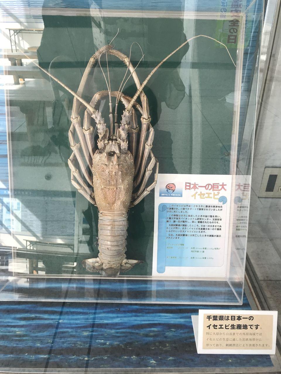 千葉県庁 イセエビのはく製