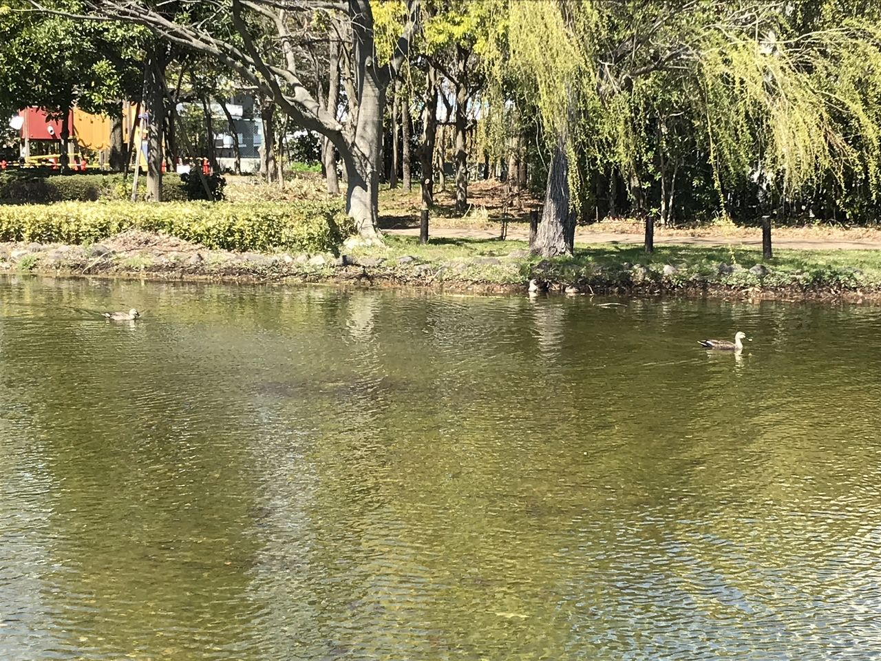 行徳のいこいの広場の鴨池の鴨