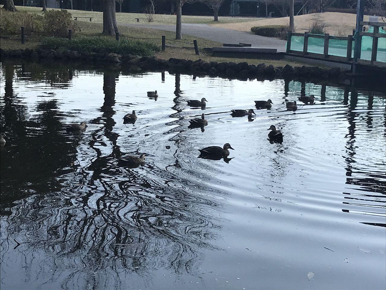 行徳のいこいの広場の鴨池で泳ぐ鴨