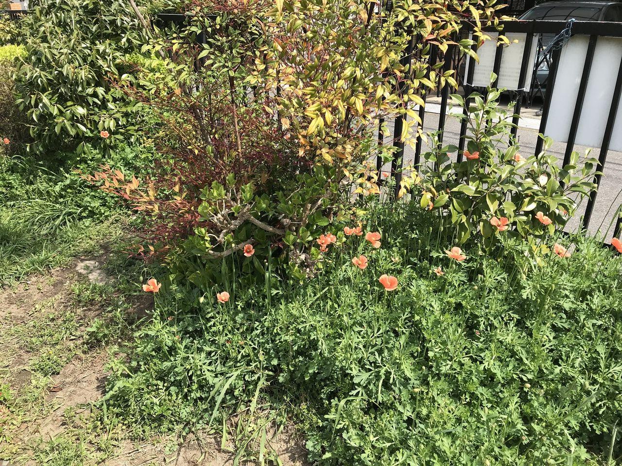 行徳のかもめ公園のけしの花