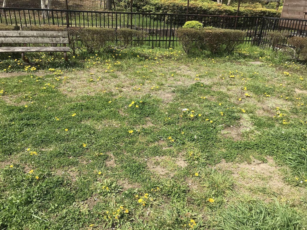 行徳のかもめ公園の広場のたんぽぽ