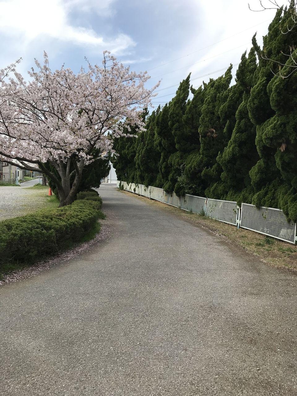 南行徳の白鷺公園の裏の桜