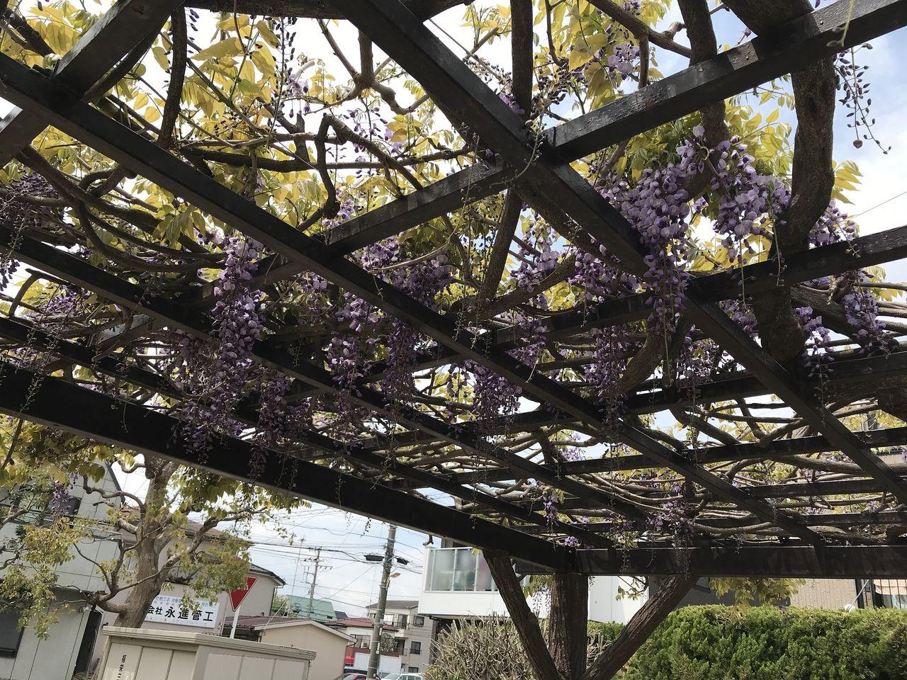 南行徳の新浜公園の藤棚の藤