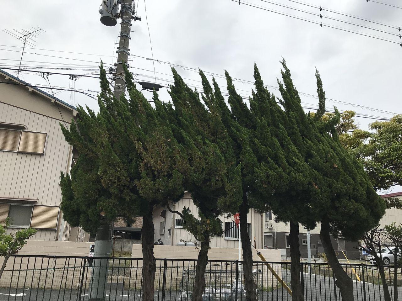 妙典の新宿前公園の松の木
