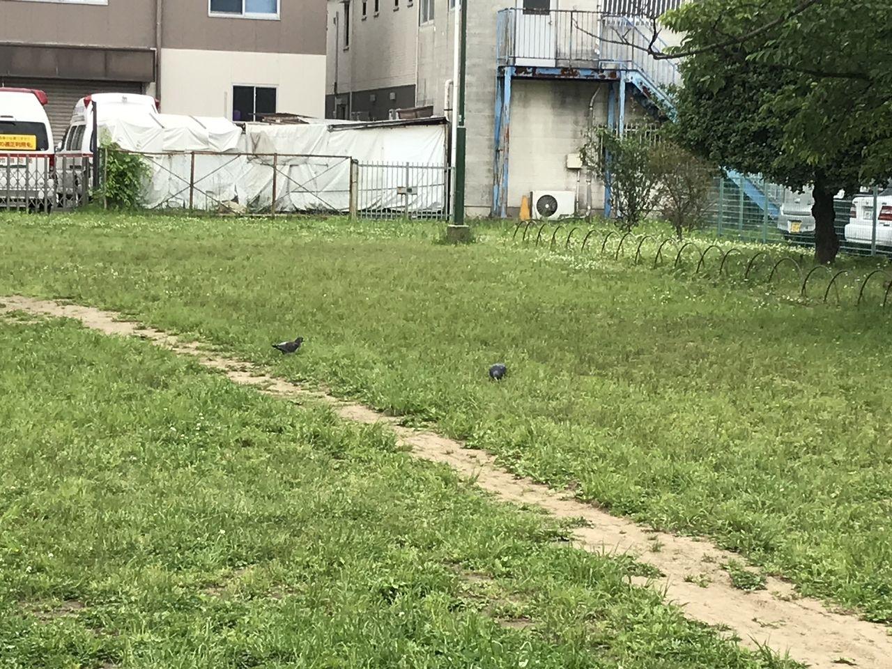 行徳の行徳児童公園の鳩2羽