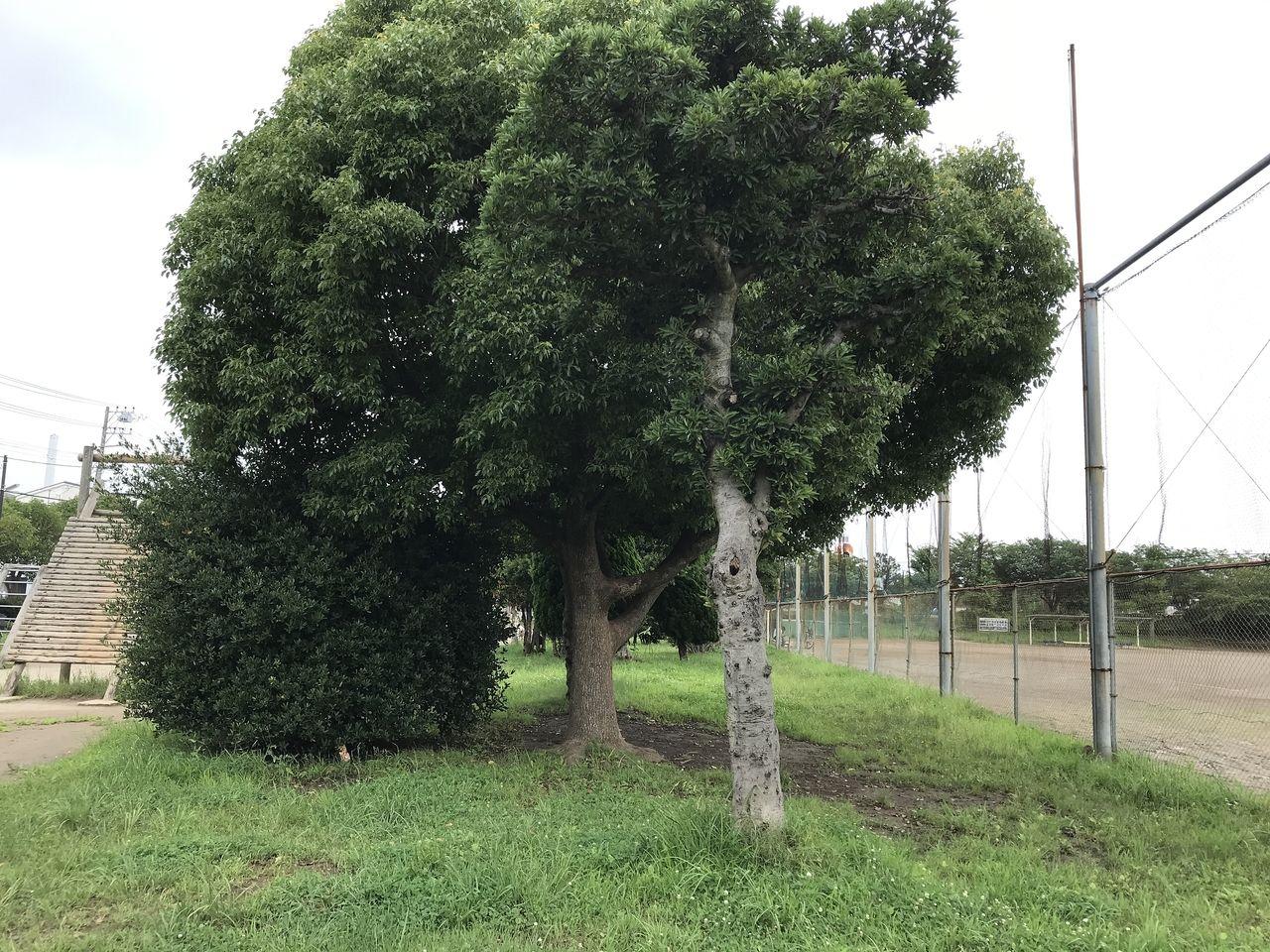 南行徳公園の仕切りの木